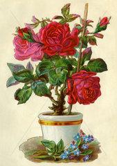 Rosenstock  Poesiebild  1908
