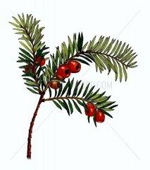 Europaeische Eibe Taxus baccata Giftpflanze