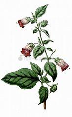 Schwarze Tollkirsche Atropa belladonna Giftpflanze