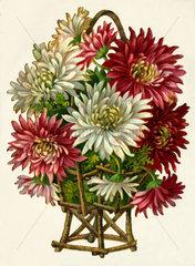 Astern  Blumen  Poesiebild  1906