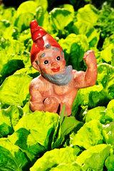 alter Gartenzwerg im Salatbeet  Humor