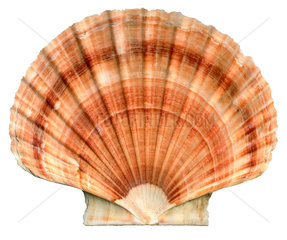 Muschel