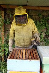 Castel Giorgio  Italien  Imker Reinhard Rohrwacher blaest vor der Kontrolle eines Bienenvolkes Rauch mit einen Smoker in die Bienenbeute