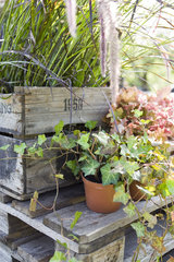 Potted ivy plants