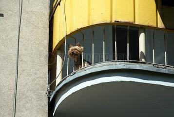 Breslau  Polen  ein Hund auf einem Balkon der Siedlung der Freundschaft (Osiedle Przyjazn)
