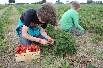 Werl  Deutschland  Jungen pfluecken Erdbeeren auf einem Feld