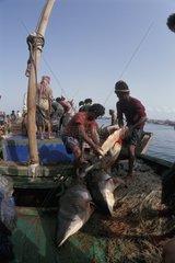 Sharks on the fish market  Hodeida  Yemen