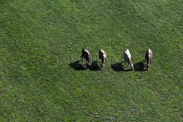 Zug  Schweiz  Kuehe auf einer Weide