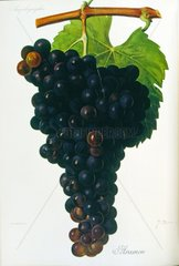 Painted illustration of grapes from a viniculture manual (French)  1905