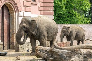 Breslau  Polen  Indische Elefanten im Zoo Wroclaw