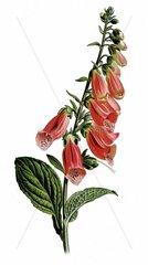 Roter Fingerhut Digitalis purpurea Giftpflanze Homoeopathie