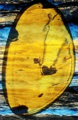 Insects embedded in baltic amber