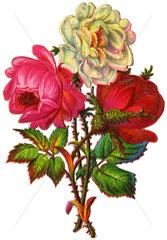 Rosen  Illustration  um 1880