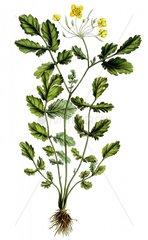 Schoellkraut chelidonium majus Heilkraeuter Giftpflanze