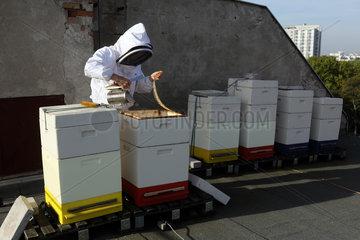 Berlin  Deutschland  Imkerin blaest vor der Kontrolle eines Bienenvolkes Rauch mit einen Smoker in die Bienenbeute