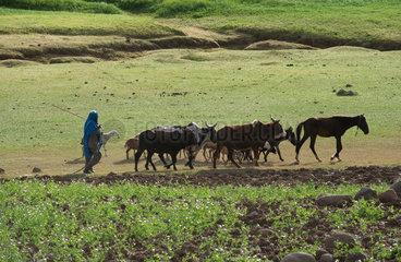 Mangudo  Aethiopien  Vieh wird durch die Felder getrieben