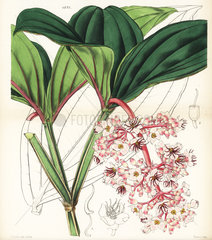 Showy medinilla from Hooker's Botanical Magazine  1847