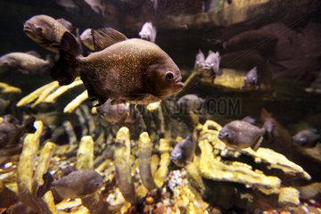 Dubai  Vereinigte Arabische Emirate  Piranhas im Dubai Aquarium der Mall of Dubai