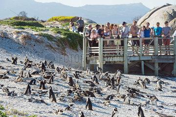 Pinguine in Afrika