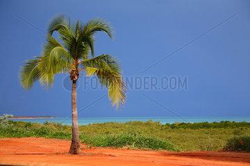 Broome  Australien  Palme vor blauem Himmel