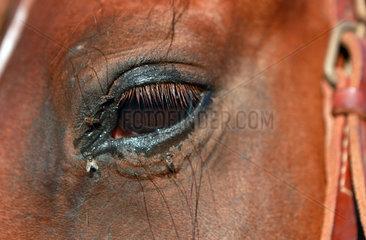 Santa Margherita di Pula  Italien  Fliegen am Auge eines Pferdes