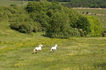 Dijon  Frankreich  Pferde auf einer Weide