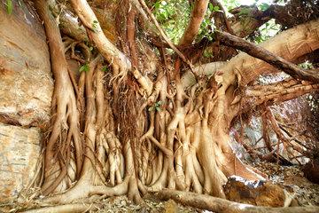 Tom Price  Australien  Baumwurzeln im Karijini Nationalpark