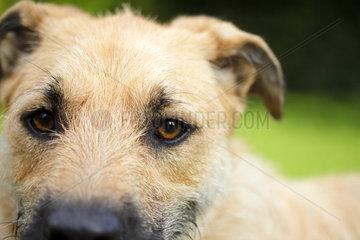 Berlin  Deutschland  Kopfportraet eines Schaeferhund-Schnauzer-Mixes