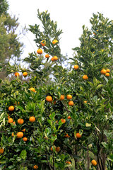 Las Hayas  Spanien  Orangenbaum auf La Gomera