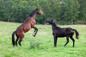 Kalmar  Schweden  Pferde kaempfen miteinander