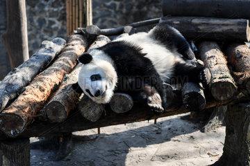 **CHINA-SICHUAN-DUJIANGYAN-GIANT PANDA (CN)