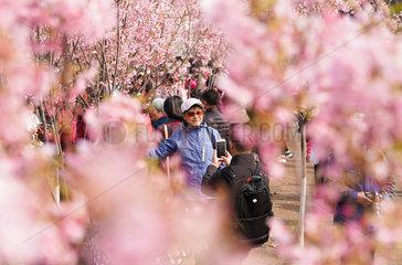 CHINA-BEIJING-YUYUANTAN PARK-CHERRY BLOSSOM (CN)