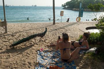 Singapur  Republik Singapur  Asien  Pfau am Palawan Strand auf Sentosa