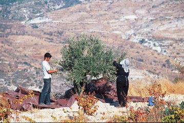 Republik Zypern - Olivenernte im Troodos-Gebirge