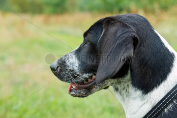Berlin  Deutschland  Kopfportraet eines Beagle-Mix