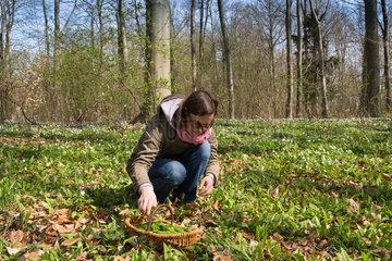 Brandenburg  Deutschland  eine Frau sammelt Baerlauch im Wald
