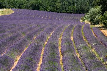 Joucas  Frankreich  ein bluehendes Lavendelfeld