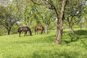 Trakehnerfohlen ANASTASIA [dunkles Pferd] (geb.2011) und Trakehnerfohlen Badenstern (geb. 2012)[helleres Pferd] springen auf der Streuobstwiese in BAD-Oos herum.