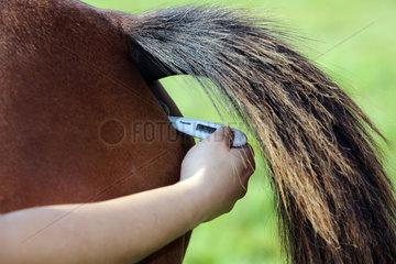 Ascheberg  Deutschland  Fiebermessen bei einem Pferd