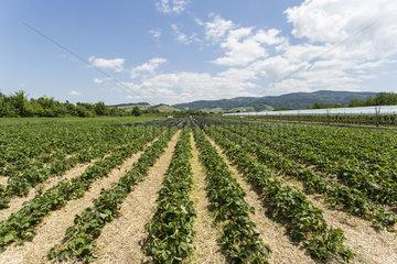 Erdbeerfeld in der Ortenau