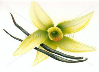 Nutzpflanze Vanillebluete und Vanilleschote
