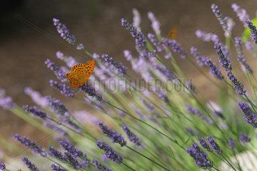 Callas  Frankreich  Gelber Leopard Schmetterling sitzt auf den Blueten des Lavendels