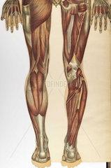 Anatomical illustration.