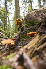 Pilze im Nordracher Wald