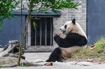 CHINA-SICHUAN-GIANT PANDA(CN)