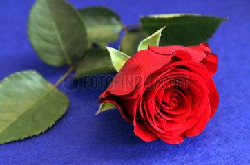 Berlin  Deutschland  rote Rose