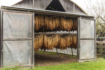 Tabak trocknet in der Ortenau