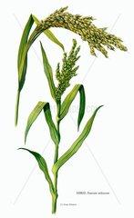 Serie Getreide Hirse Nutzpflanze