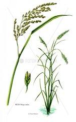 Serie Getreide Reis Nutzpflanze