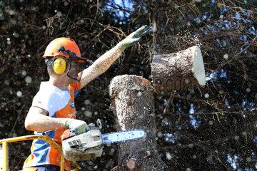 Magdeburg  Deutschland  Holzfaeller zerlegt von einer Hebebuehne aus einen Baumstamm